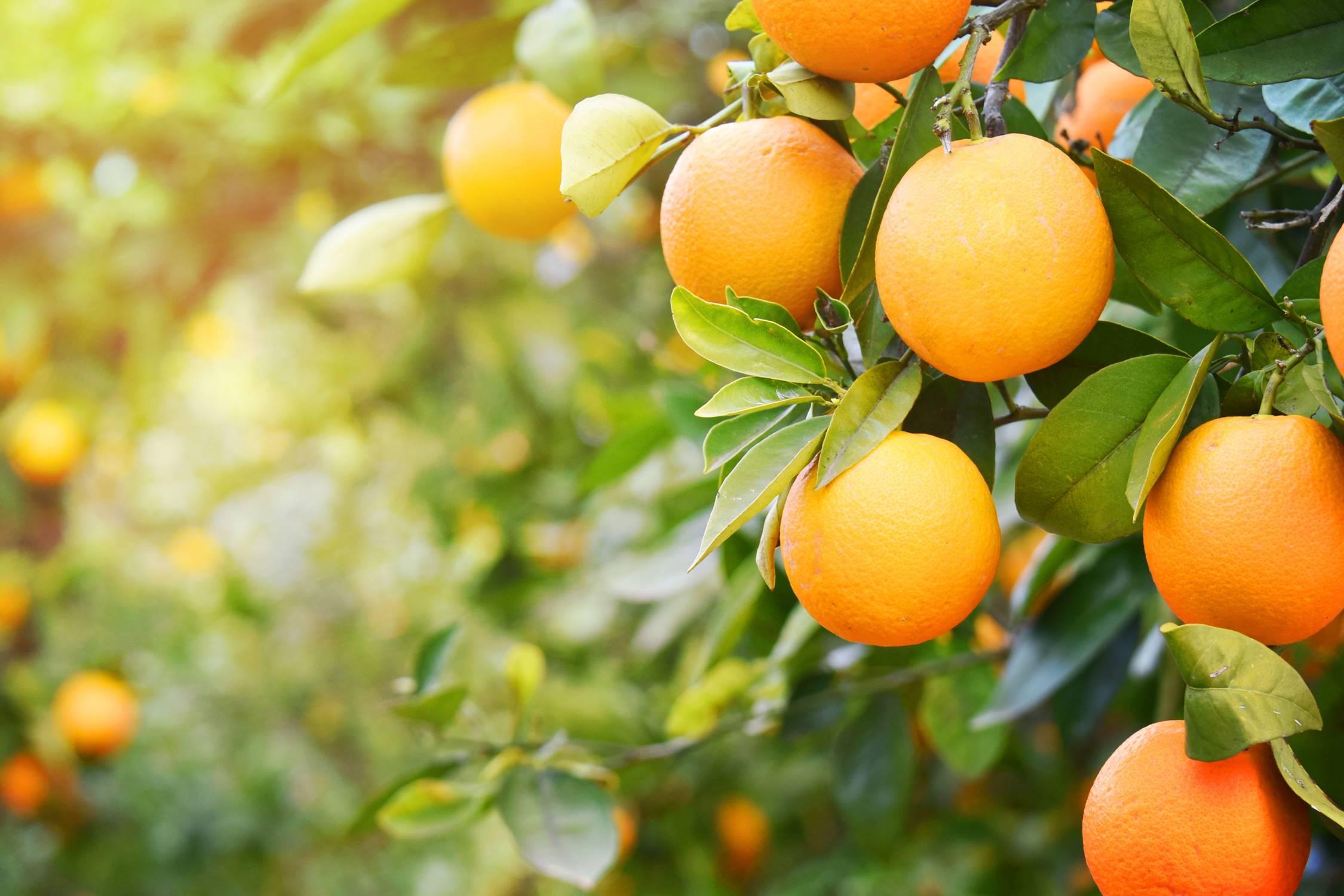 arance pianta.jpg